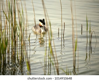 Great crested grebe in a lake between reeds
