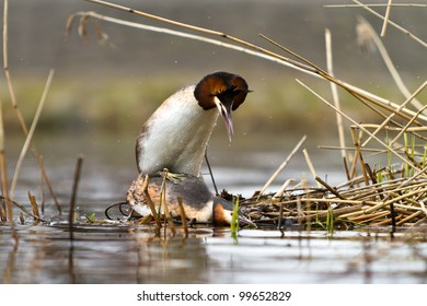 great crested grebe mating
