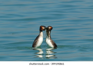 great crested grebe mating reproductive period couple in love marsh bird Lake Garda Italy