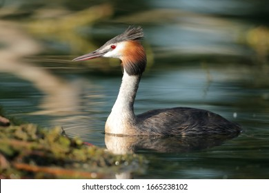 great crested grebe near the nest