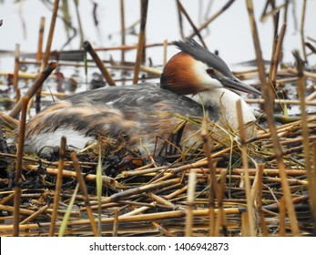 Great Crested Grebe nesting in small pond, Finland