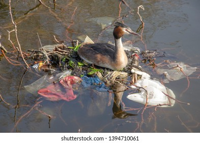 Great crested grebe on a nest made of trash and branches in a pond in a city park