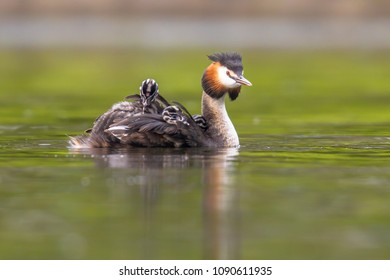 Great crested grebe (Podiceps cristatus) is a water bird noted for its elaborate mating display. Female with chicks on back