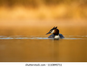 Great crested grebe (Podiceps cristatus) floating on pond. Elegant waterbird in the family Podicipedidae in natural habitat in , Czech Republic, enought space in background, beautifil yellow