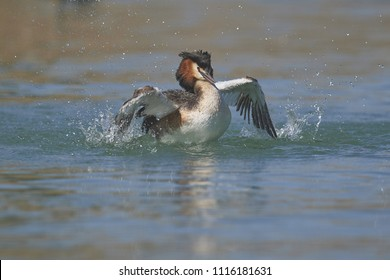great crested grebe [Podiceps cristatus]