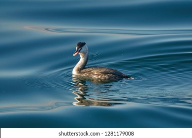Great crested grebe (Podiceps cristatus), waterfowl is in the water of Lake Zug