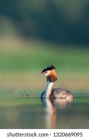 The great crested grebe (Podiceps cristatus) is a member of the grebe family