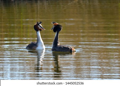 The Great Crested Grebe (Podiceps cristatus) is a species of podicipediforme bird of the family Podicipedidae typical of the wetlands of Eurasia, Africa and Australasia.