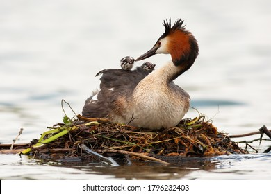 Great crested grebe, podiceps cristatus, mother feeding cubs on water in spring. Waterbird with black crest and red head nesting on boughs on river. Wild feathered animal with baby animals on back