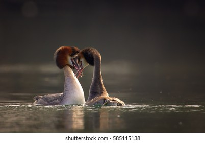 Great crested grebe, Podiceps cristatus, pair displaying an elaborate mating. Mating ritual of grebes in springtime on calm water surface against dark background. April, Europe, Czech republic.