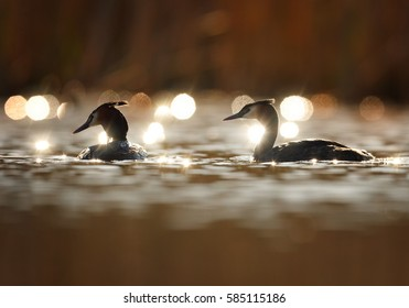 Great crested grebe, Podiceps cristatus, pair displaying an elaborate mating. Silhouettes of grebes backlighted on water with sparkling sun reflections against dark background. April,  Czech republic.