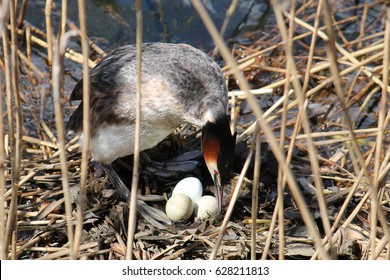 Great crested grebe (Podiceps cristatus) at nest with eggs