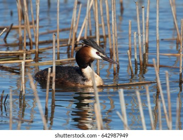 Great crested grebe (Podiceps cristatus).
