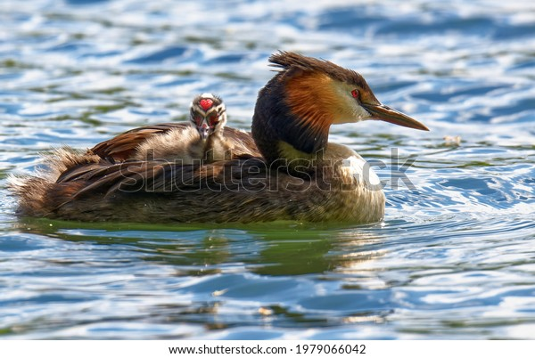 Great crested grebe (Podiceps cristatus) - Watertaxi