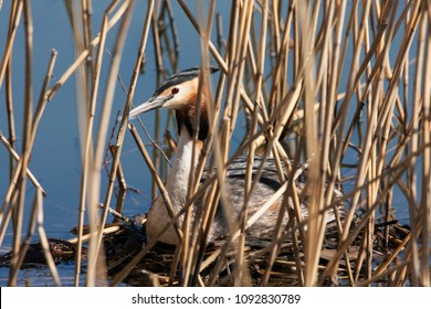 Great crested grebe sitting on nest in reeds. Cute colorful waterbird. Bird in wildlife.