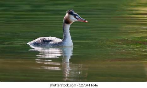 Great Crested Grebe swimming on a lake
