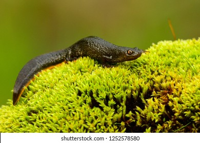 Great crested newt on moss, Triturus cristatus