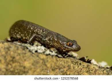 Great crested newt on the rock, Triturus cristatus