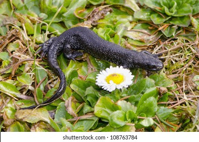 Great Crested Newt Triturus cristatus on spring grass