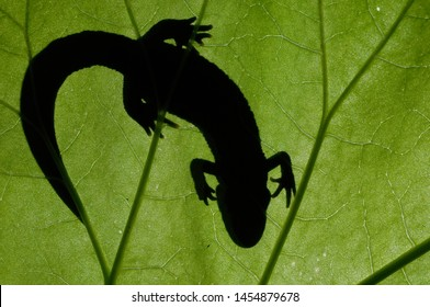 Great crested newt (Triturus cristatus) is close to extintion in large parts of Europe.