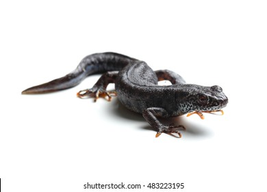 Great crested newt (Triturus cristatus) isolated on white