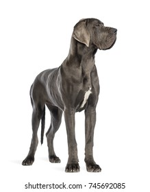 Great Dane, 10 months old dog, looking right in front of white background