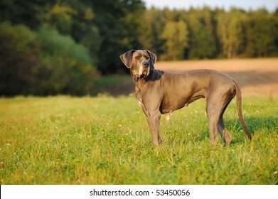 Great Dane blue  12 Years old Deutsche Dogge