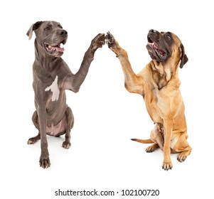 Great Dane and Brindle Mastiff with paws raised giving a High 5 greeting