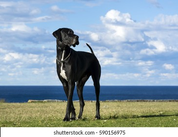 Great Dane by the sea