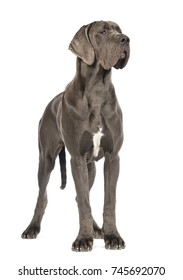 Great Dane dog, 10 months old, looking away in front of white background