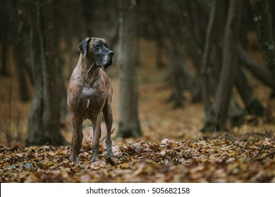 Great dane dog in the forest in autumn