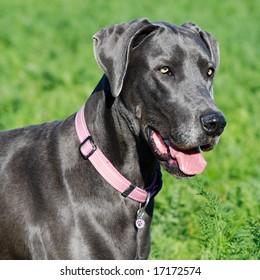 great dane dog in green field
