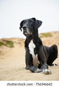 Great Dane dog lying down in sand