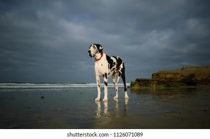 Great Dane dog outdoor portrait standing on beach