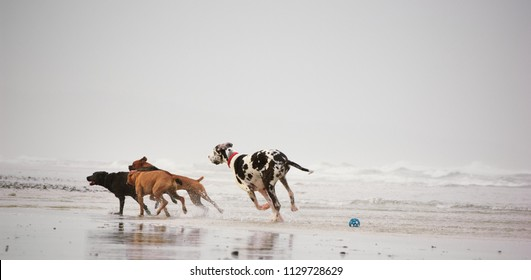 Great Dane dog outdoor portrait chasing two other dogs on the beach