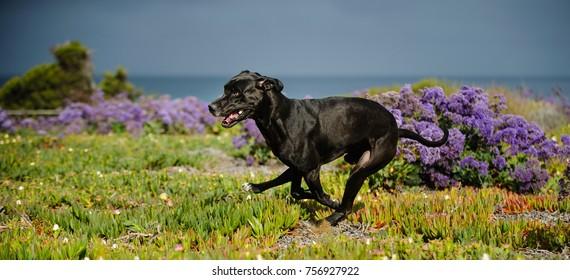 Great Dane dog running through field with purple flowers