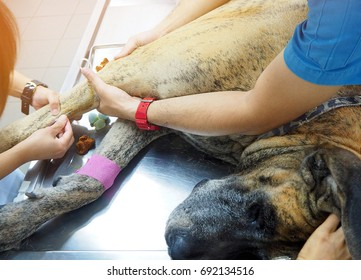 Great Dane dog is sick and admit in the pet hospital with good care of veterinarians and he has an injection