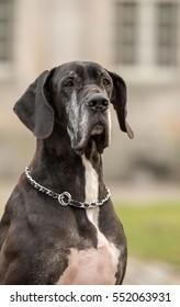 Great Dane dog, sitting