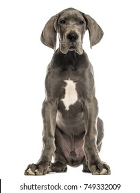 Great Dane dog sitting, facing, isolated on white