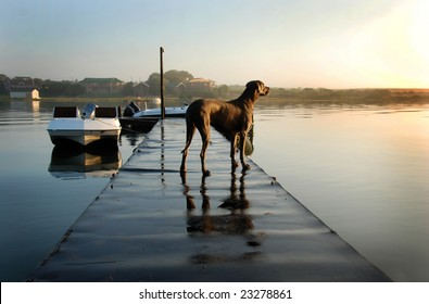 Great dane dog standing on a jetty with boats and river in the background