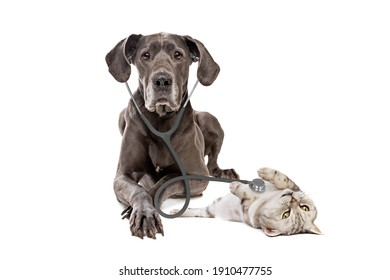 Great Dane dog using a stethoscope on a cat isolated on white background. big dog on reception at veterinary doctor in vet clinic. Pet health care and animals concept