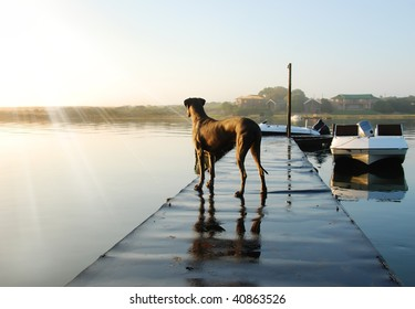 Great dane dog watches the sun rising over the river with boats in the background - holiday