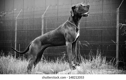 Great dane dominant standing in black and white
