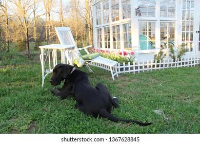 Great Dane in Edwardian Garden