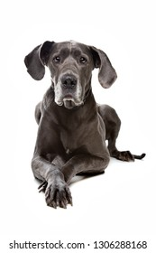 great dane in front of a white background