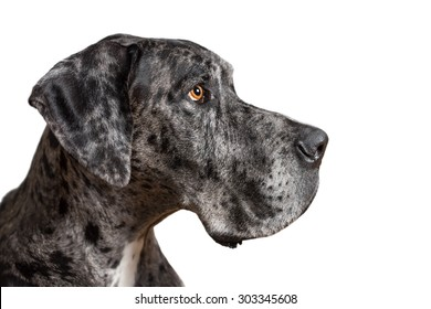 Great Dane grey harlequin merle giant dog with light brown eyes in isolated front of white background looking alert adorable curious watching thinking paying attention with loose lip
