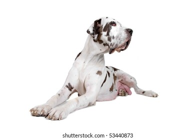 great dane harlequin isolated on a white background
