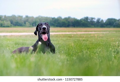 great dane lay in grass tongue out