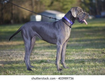 Great Dane out for a walk just before sunset