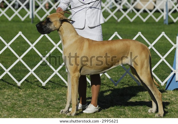 Great Dane poses with his handler